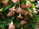 Прикрепленное изображение: brugmansia_pink_lrg.jpg