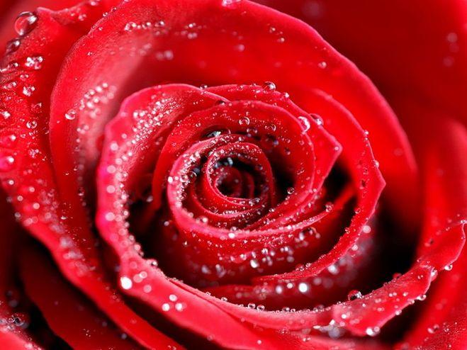 Песня роза красная моя скачать