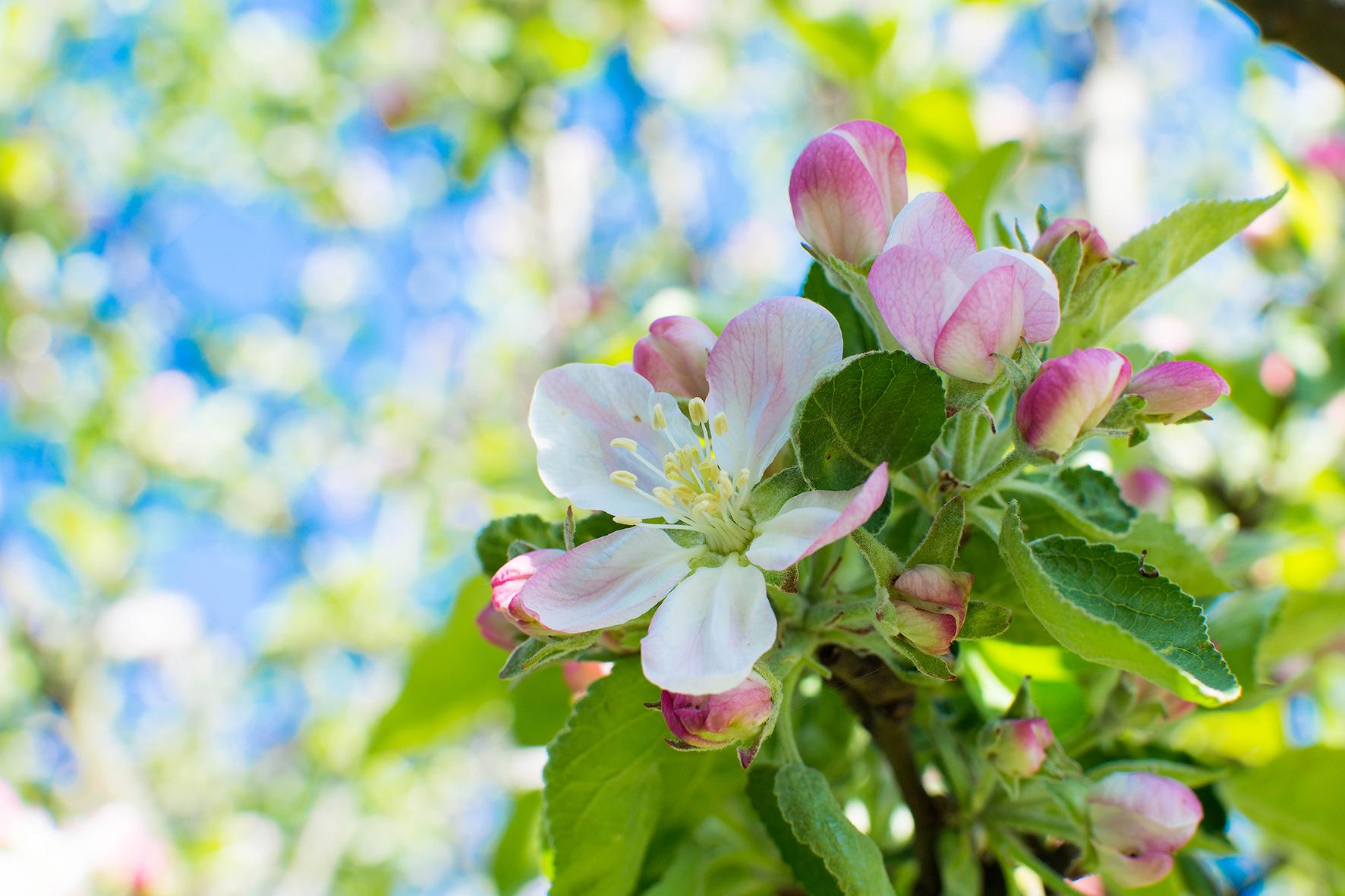 владеет невероятной цвет яблони обои на рабочий стол правда видно, люблю
