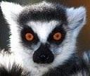 Lemurissa фотография