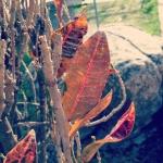 rosa ambrosa фотография
