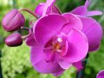 orchidea фотография