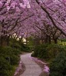Вишневый сад фотография